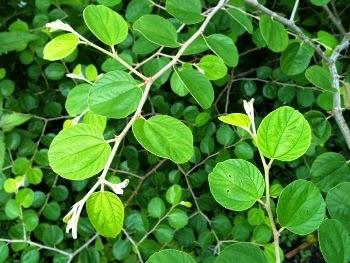 ciri-ciri-tumbuhan-daun-bidara-yang-perlu-kita-ketahui