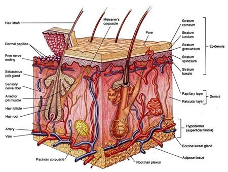 skin-cross-section
